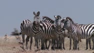 Stock Video Footage of zebra in african savanna