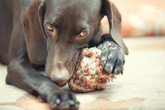 dog and ball - stock photo