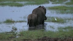 Elephant with a calf in swamp, tanzania, serengeti, africa Stock Footage