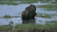 Stock Video Footage of elephant with a calf in swamp, tanzania, serengeti, africa