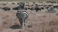 Pregnant zebra in african savanna Stock Footage
