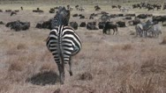 Stock Video Footage of pregnant zebra in african savanna