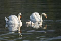 Beautiful white swans with their nestling Stock Photos