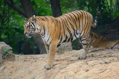 Tiger in its natural habitat Stock Photos