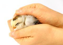 little chicken sleeping - stock photo