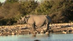 Black Rhino - stock footage