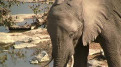 Drinking elephant, close up - stock footage