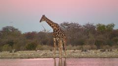 Giraffe at dusk - stock footage
