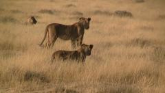Lion pride Stock Footage