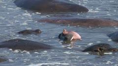 Hippo in a pool, safari, africa Stock Footage