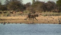 Walking lion with impala herd in background Stock Footage