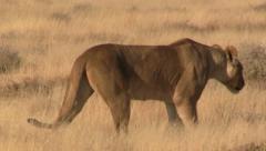 Walking lion, close up Stock Footage