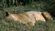 Stock Video Footage of lion waking up in african savanna