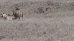 Mating lions Stock Footage