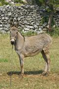 Donkey standing in front of the stonewall - stock photo