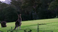 Jumping Kangaroos Stock Footage