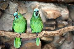 Two blue-fronted amazon (amazona aestiva) Stock Photos