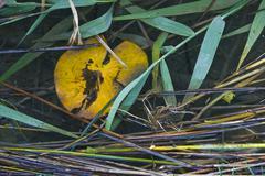 Yellow nenuphar on the Krka river - stock photo