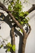 Grape-vine on the white wall Stock Photos