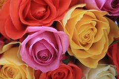 Multi colored roses Stock Photos