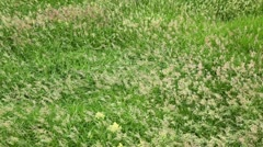 Growth of grass sway in wind on field at summer day Stock Footage