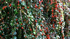 Red Berries - stock footage