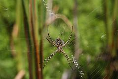 spider on a spiderweb - stock photo
