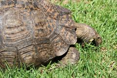 turtle eating grass - stock photo