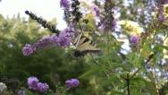 Butterfly on butterfly bush Stock Footage
