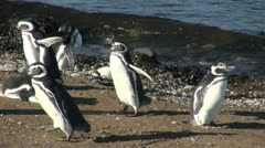 Patagonia Magdalena penguins flap and preen 13 Stock Footage