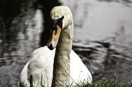 Stock Photo of white swan in water