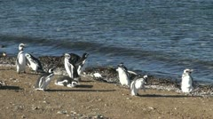 Patagonia Magdalena penguins sport wings and flipper 13a Stock Footage