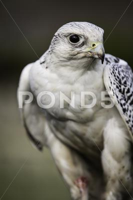 Stock photo of white gyrfalcon , falco rusticolis