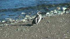 Patagonia Magdalena penguin purposeful walk 17 Stock Footage