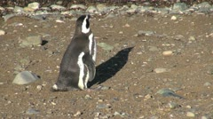 Patagonia Magdalena penguin resumes brisk walk 17a Stock Footage