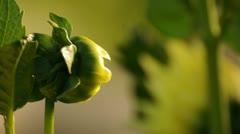 Flower Bud 037768 Stock Footage