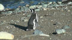 Patagonia Magdalena penguin shows stripes and back 17b Stock Footage