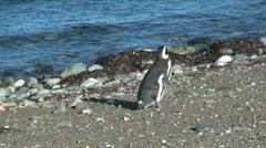 Patagonia Magdalena penguin saunters toward water 17_4 Stock Footage