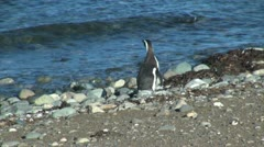 Patagonia Magdalena penguin strolls along shore 17d Stock Footage