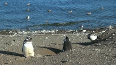 Patagonia Magdalena penguin sentry and gulls 21 Stock Footage
