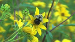 Yellow Field Wildflower With Bumblebee Stock Footage