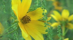 Yellow Field Wildflower Closeup Stock Footage