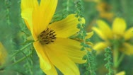 Stock Video Footage of Yellow Field Wildflower Closeup