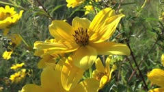 Yellow Field Wildflowers Closeup 3 Stock Footage