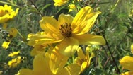 Stock Video Footage of Yellow Field Wildflowers Closeup 3