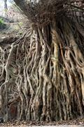 Stock Photo of millennium ancient roots