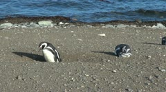 Patagonia Magdalena penguin stands in burrow 26 Stock Footage