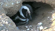 Stock Video Footage of Patagonia Magdalena penguin roosts in burrow 31