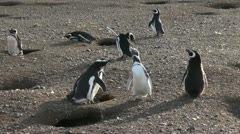 Patagonia Penguins interacting s3 Stock Footage