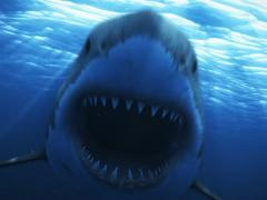 Stock Video Footage of Great White Shark 10 720x480 Day
